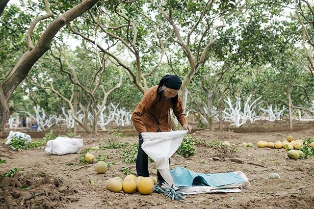 Bưởi Diễn thu hoạch vào dịp Tết là nông sản sạch được thị trường ưa chuộng. Loại cây này có thể chiết cành để bán giống nên việc nhân rộng mô hình bưởi Diễn đang là hướng đi triển vọng giúp người nông dân nâng cao thu nhập.