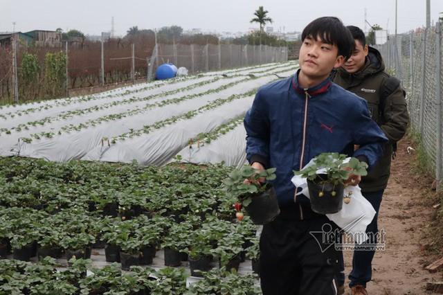 Anh Nguyễn Công Khanh cho biết: Dù chưa mở cửa đón khách nhưng mỗi ngày vườn dâu đã bán được mấy chục cây dâu cho khách qua đường mang về trông.