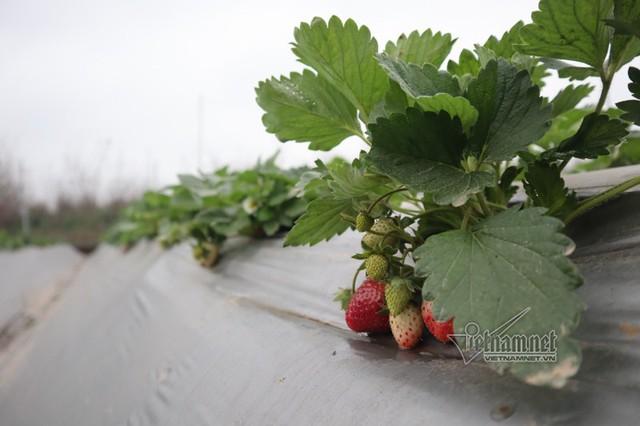 Toàn bộ dâu tây ở đây là giống dâu Nhật Bản, được gieo trồng ở Mộc Châu, khi cây trưởng thành sẽ đưa về Hà Nội