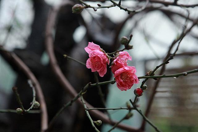 Đào cổ thụ thường có ít hoa nhưng hoa to, chơi được lâu