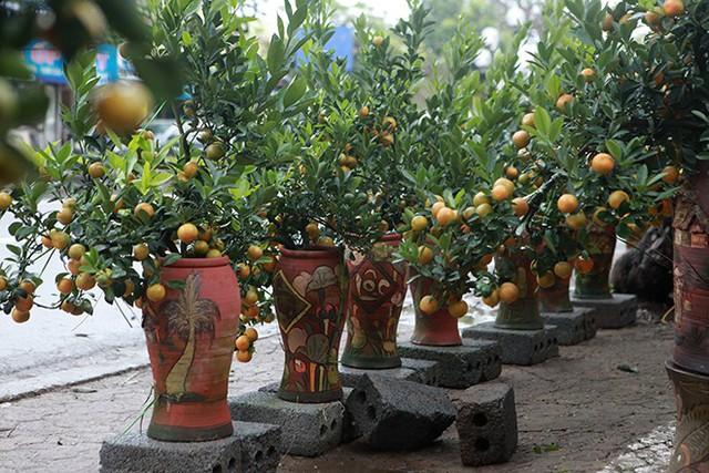 Những cây quất cảnh trong chậu sành có giá giao động từ 2,5 – 5 triệu đồng