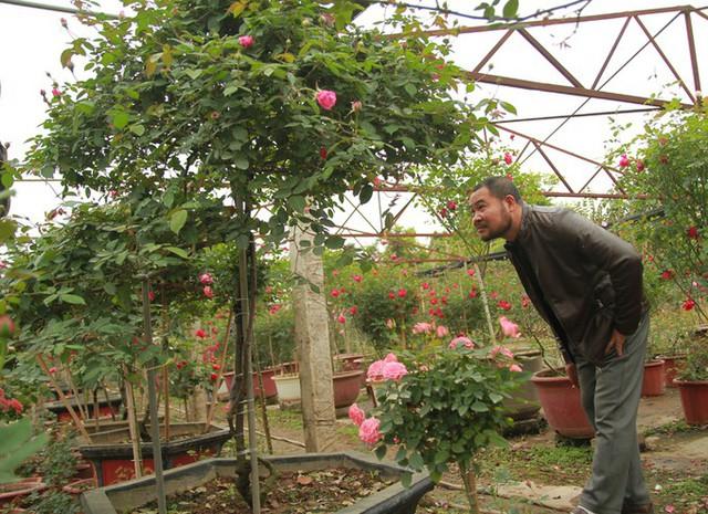 Bên cạnh số lượng lớn các giống hồng ngoại và những cây hồng phổ thông thì ở làng cây cảnh này cũng có một số nhà vườn sưu tầm hồng cổ thụ. Vườn của anh Thoại có hơn 40 gốc như vậy.
