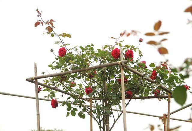 Trung bình hoa hồng cần 35-40 ngày một lứa hoa, thời gian nở kéo dài từ một đến 1,5 tháng. Để kịp hoa vào Tết, các nhà vườn đã cắt tỉa từ cách đây chục ngày. Trong ảnh là hồng nhung leo Hải Phòng, cây cao tới 4 m.
