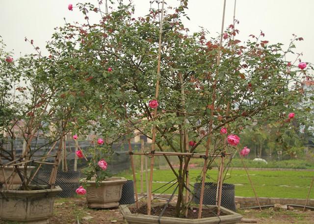 Hồng cổ là các giống hồng đã có lâu đời ở Việt Nam, như hồng cổ Sapa, hồng điều, Vân Khôi, bạch ho, nhung cổ Hải Phòng, hồng cổ Huế..., anh Cường cho biết thêm.