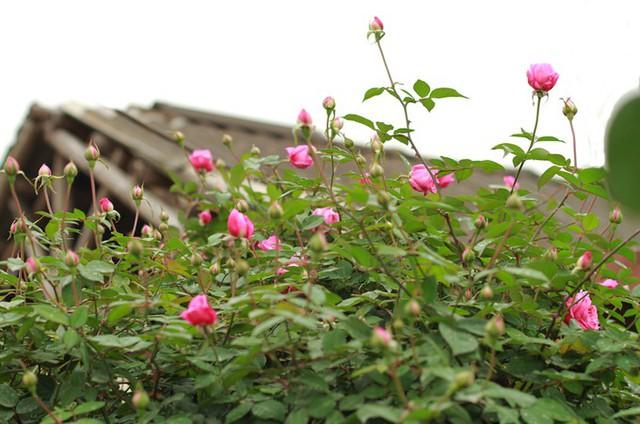 Ngoài thân to, tán to, những gốc hồng lâu năm còn quý bởi kháng sâu bệnh rất tốt, màu sắc hoa đậm hơn các loại còn non tuổi đời, hoa to, lâu tàn, chủ vườn nói.