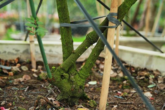 Tết này, vườn của anh cung cấp ra thị trường khoảng 100 gốc hồng cổ thụ, giá thấp nhất từ vài chục triệu, chưa kể hàng nghìn chậu hồng bình dân khác. Ngoài hai vườn ở Văn Giang, anh Cường còn có một vườn khác trên Thái Nguyên.