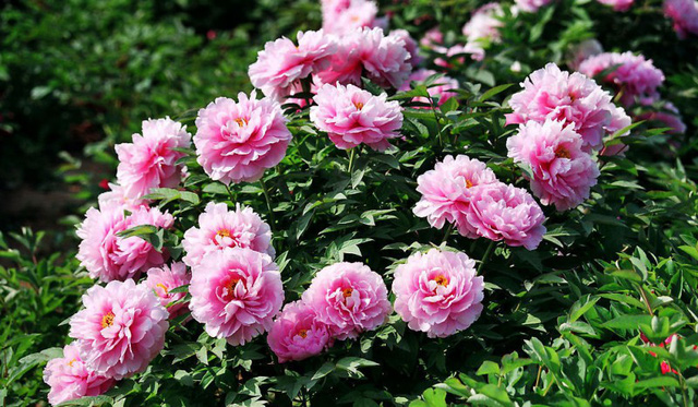 Với chậu giá 8 triệu thường là chậu đôi, số lượng thân và hoa cũng nhiều gấp đôi. Trung bình có khoảng 15- 20 thân và có khoảng 30- 40 nụ hoa.