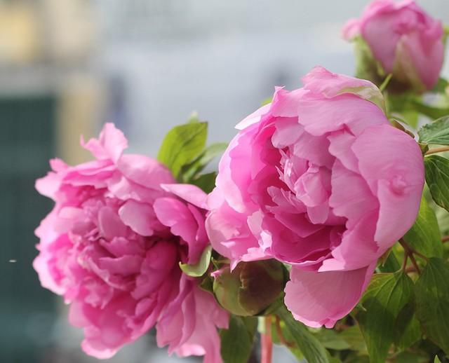 """""""Mặc dù đắt đỏ là thế nhưng có khách vẫn đặt cả chục cây để đi tặng, biếu đối tác"""", chị Kim Vân, chủ một cửa hàng hoa ở Hà Nội cho hay."""
