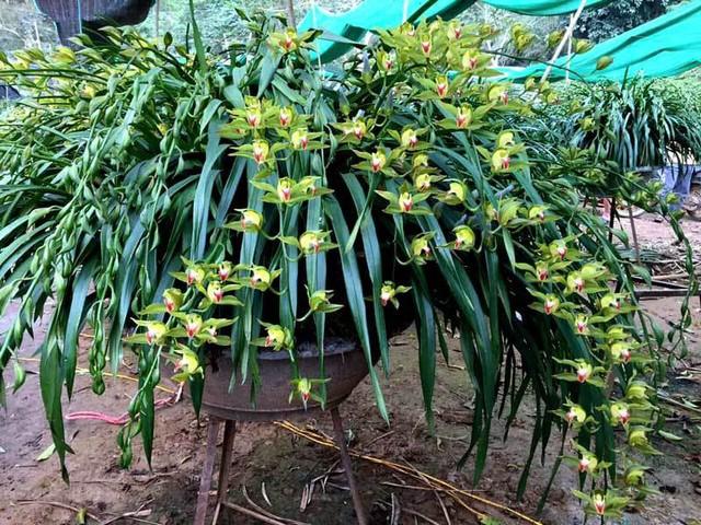 Giá của loại địa lan này được tính theo số lượng cành trên mỗi chậu