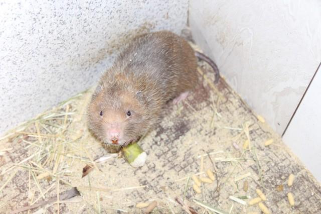Dúi được 4 tháng tuổi nuôi trong khu chuồng của gia đình anh Thạch.