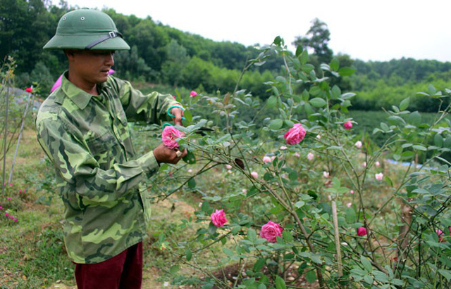 Anh Phan Văn Hoàn lựa chọn những bông hoa hồng cổ to, đẹp nhất để sản xuất các sản phẩm làm đẹp cho phụ nữ như mặt nạ hoa hồng, nước hoa hồng, nước tẩy da chết từ hoa hồng...