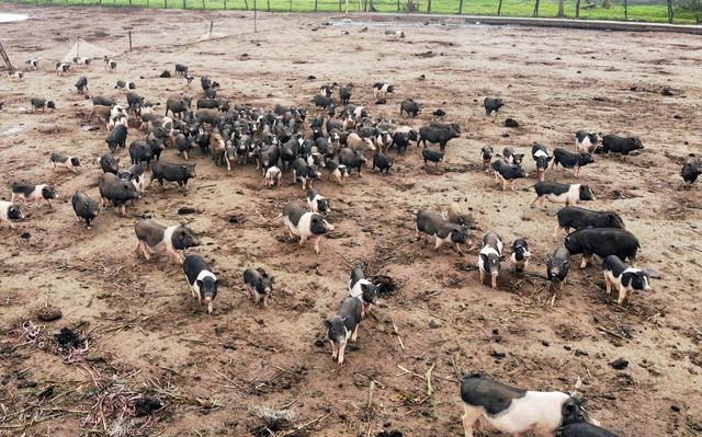 Thịt ngon, giòn và ngọt khiến mỗi con lợn hương có giá từ 100.000 - 150.000 đồng/kg, mang lại doanh thu cả tỷ đồng.