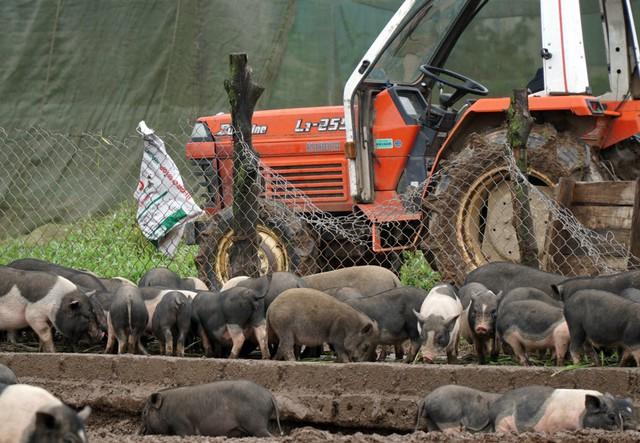 Gia đình anh Hanh cũng cho hay, đến thời điểm hiện tại đã có rất nhiều người đặt mua, khoảng 25 Tết đàn lợn sẽ đến tay các gia đình.