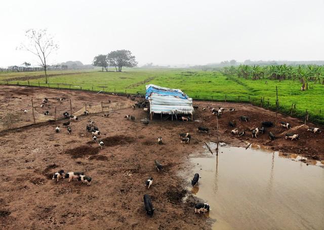 Lợn được nuôi theo mô hình chăn thả nên cần không gian tốt để lợn khỏe mạnh, phù hợp với tự nhiên cũng như mang lại chất lượng thịt tốt hơn.