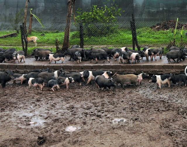 Theo anh Hanh cho biết, để có giống lợn hương tốt đã phải lặn lội lên tận Cao Bằng, do giống khó mua nên anh phải gom từ các phiên chợ nhiều lần rồi mang về chăm sóc, nuôi dưỡng.