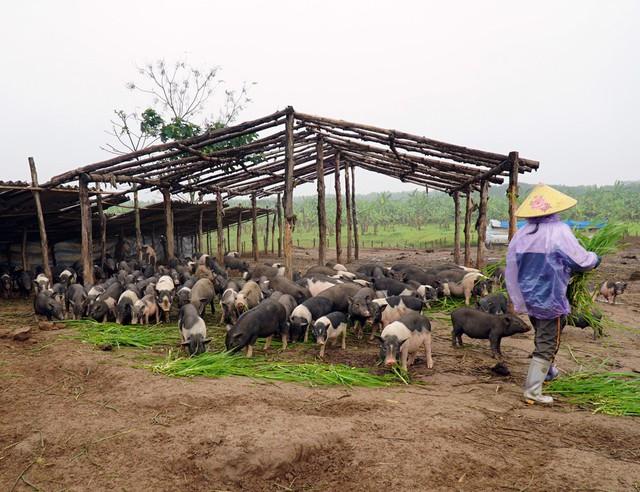 Do đặc tính giống loài nên lợn hương rất chậm lớn, trong khi đó cân nặng khi nuôi suốt 12 tháng đạt ngưỡng khoảng 30kg.