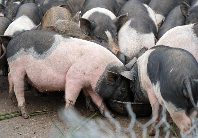 Hiện tại, những con lợn hương trong trang trại đang chuẩn bị được xuất chuồng, mang lại thu nhập lớn cho gia đình.