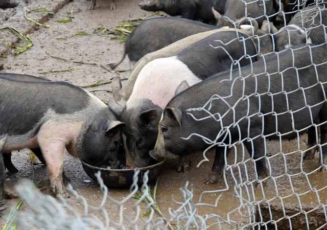 Lợn hương có đặc tính khác với giống lợn truyền thống nên cách chăm sóc, khẩu phần ăn cũng khác hoàn toàn.