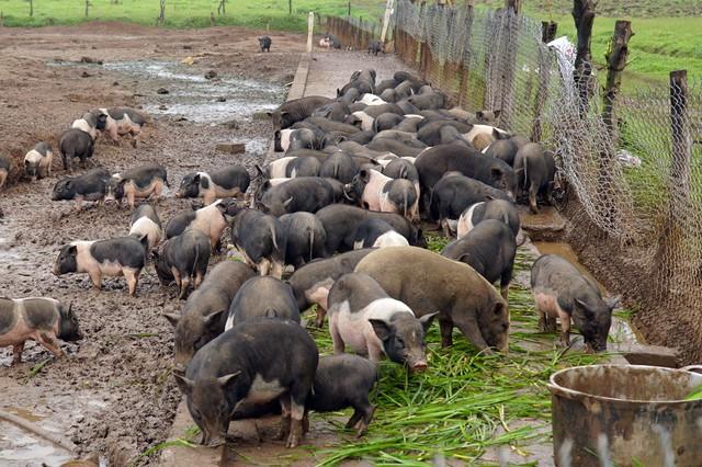 Những năm gần đây, mỗi dịp Tết, nhu cầu sử dụng thịt lợn hương, lợn rừng tăng cao nên gia đình anh Hanh đã quyết định đầu tư xây dựng trang trại nuôi lợn hương phục vụ người dân.