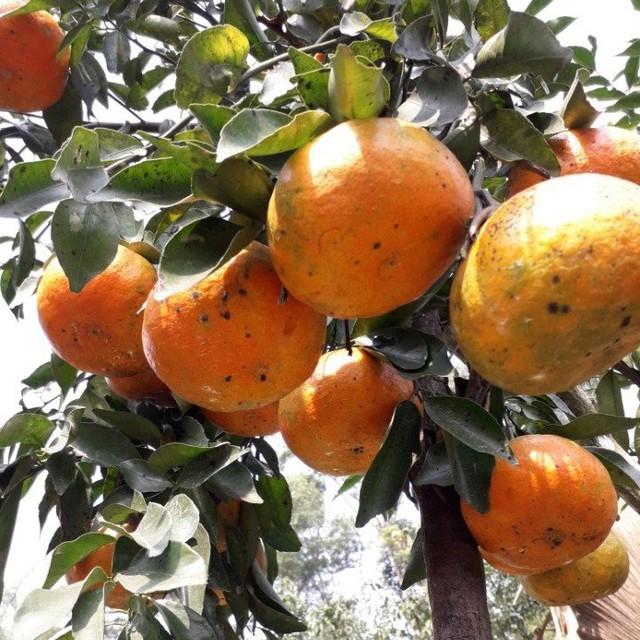 Cam bù được trồng nhiều nhất ở các xã Sơn Mai, Sơn Thủy, Sơn Bằng...