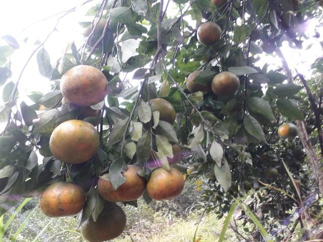 Cam bù mang lại hiệu quả kinh tế khá cao nên cam bù ngày càng được nhiều nông dân huyện Hương Sơn lựa chọn làm cây chủ lực phát triển kinh tế...
