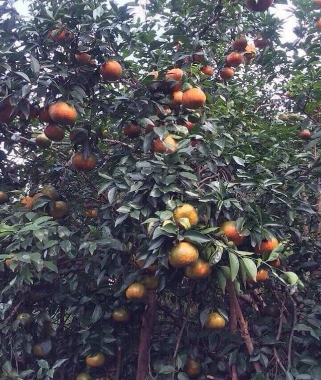 Cam bù Hương Sơn là giống cây chín muộn, đúng vào dịp Tết Nguyên đán nên nó được nhiều thực khách ưa chuộng.