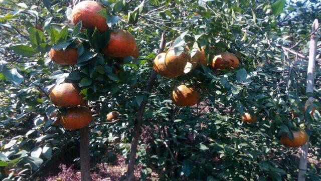 """Ông Trần Ngọc Kiên – Chủ tịch xã Sơn Mai cho biết: """"Toàn xã có 270 hộ trồng cam với 284ha. Năm 2018 số lượng cam trong xã xuất ra thị trường 1500 tấn."""