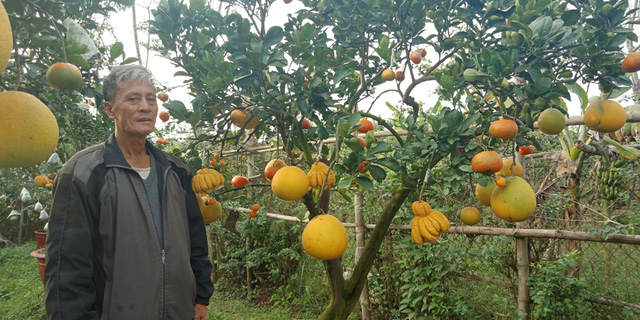 Ông Giáp cho hay, năm nay vườn nhà ông có hơn 100 cây bưởi cảnh. Hầu hết các cây đã có chủ.