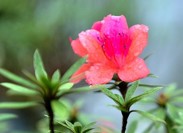 Cũng theo chủ nhân, nguồn gốc cây đỗ quyên này được mua từ Lào về chăm sóc, nuôi dưỡng rất kỳ công bởi cây đã cao tuổi nên phải đòi hỏi bản thân thật cẩn thận.