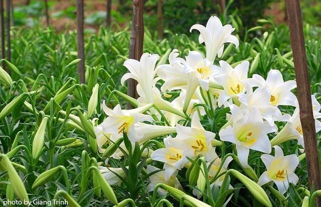 Hoa loa kèn mọc nhiều ở khu vực Đà Lạt, là loại hoa cực độc.