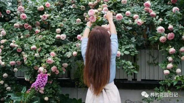Hoa hồng nở rộ trên sân thượng.