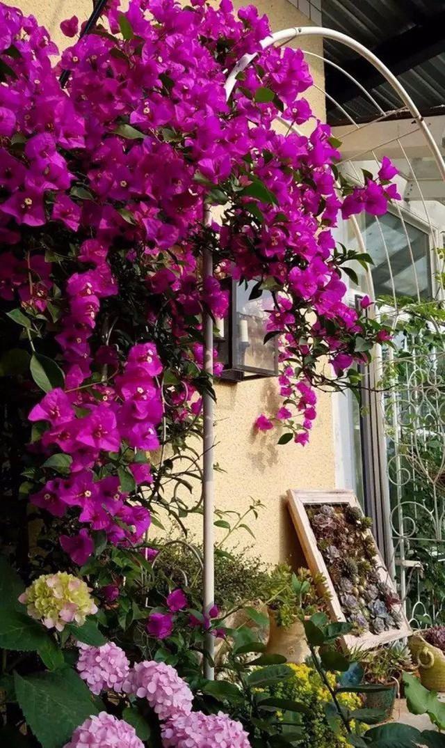 Hoa giấy khoe sắc bên hoa cẩm tú cầu.