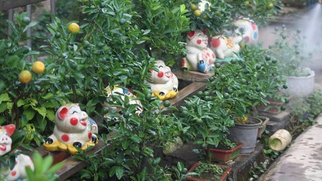 Những chú lợn đất cõng quất bonsai này hiện đang được trồng tại một số vườn quất trên địa bàn phường Tứ Liên (quận Tây Hồ, Hà Nội). Ảnh: VOV