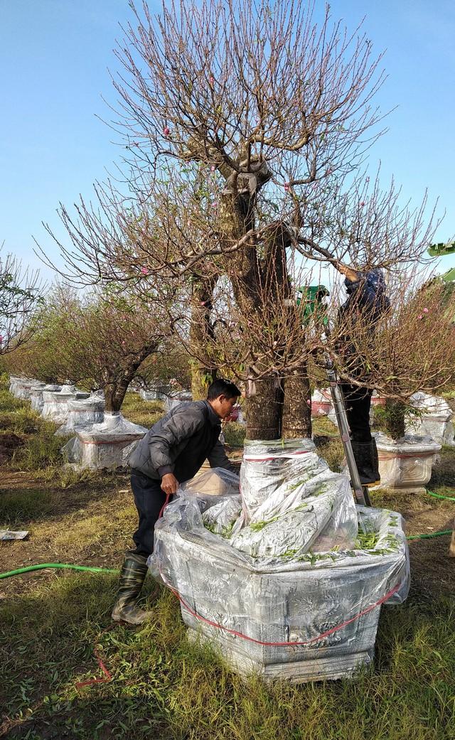 Hai công nhân đang kiểm tra các mắt đào, dùng nilon phủ gốc đào tránh thời tiết quá lạnh đào không nở hoa.