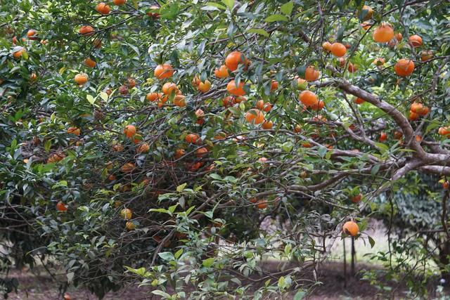 Vườn cam Gia Luận nức tiếng