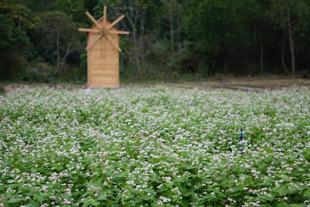 Thung lũng hoa tam giác mạch có mặt tại Cát Bà góp phần làm đẹp cảnh quan nơi đây