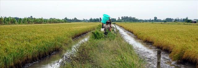Sau khi thu hoạch tôm càng, cây lúa cũng vừa chín tới, người dân rút nước cho khô sau đó thu hoạch lúa. Ảnh: Nhật Hồ.