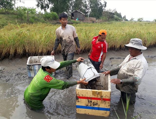 Tại các vùng lúa tôm Bạc Liêu, Cà Mau, thời điểm này là bắt đầu thu hoạch rộ tôm càng xanh trên đất lúa. Ảnh: Nhật Hồ.
