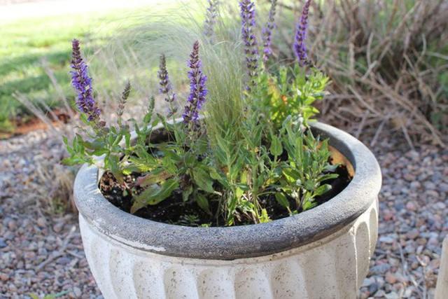 Mách bạn 10 loại cây cảnh trồng quanh nhà có khả năng xua đuổi kiến ba khoang hiệu quả - Ảnh 3.