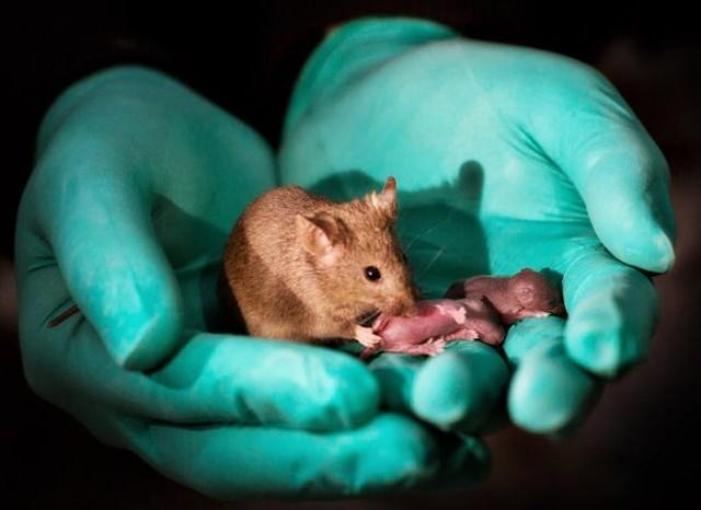 Tạo phôi thai chuột không cần trứng và tinh trùng  - Ảnh 1.