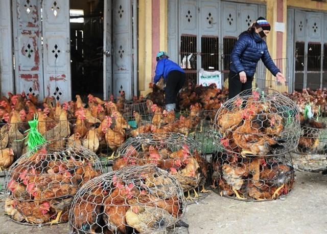 Thịt gà đông lạnh 21 ngàn/kg, nhập thoải mái không lo ép chết gà nội - Ảnh 2.