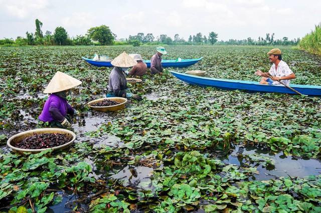 Nông dân miền Tây lội ruộng thu hoạch củ ấu - Ảnh 1.