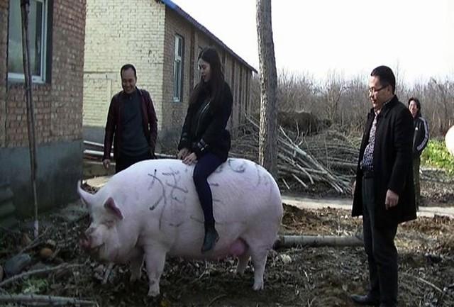 Đẩy mạnh giống lợn 500-750 kg mỗi con trong cơn khủng hoảng thịt lợn  - Ảnh 1.