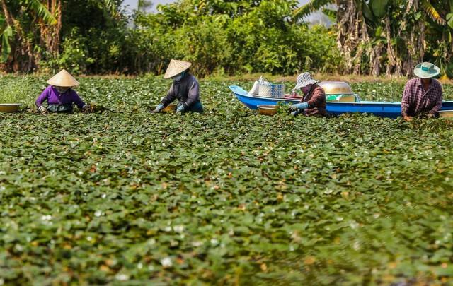 Nông dân miền Tây lội ruộng thu hoạch củ ấu - Ảnh 4.