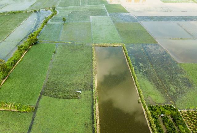 Nông dân miền Tây lội ruộng thu hoạch củ ấu - Ảnh 8.