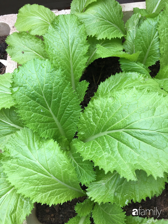 Kinh nghiệm trồng rau quả tốt tươi, bội thu trên sân thượng của mẹ đảm ở Hà Nội - Ảnh 23.