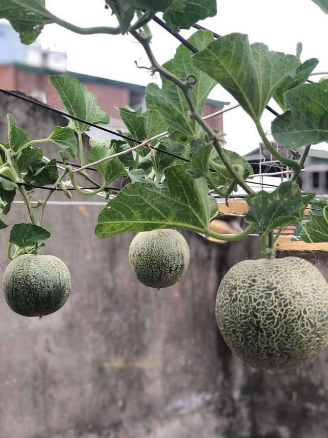 Kinh nghiệm trồng rau quả tốt tươi, bội thu trên sân thượng của mẹ đảm ở Hà Nội - Ảnh 7.