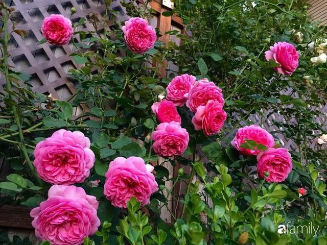 Mẹ Việt dồn hết tâm huyết để biến góc nhỏ trong vườn trở thành khu vườn hồng đẹp ngọt ngào - Ảnh 1.