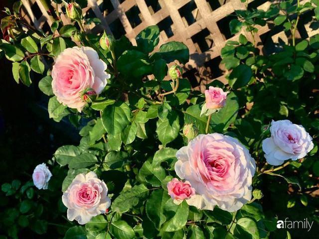 Mẹ Việt dồn hết tâm huyết để biến góc nhỏ trong vườn trở thành khu vườn hồng đẹp ngọt ngào - Ảnh 2.