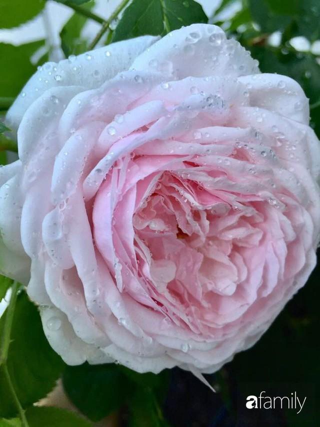 Mẹ Việt dồn hết tâm huyết để biến góc nhỏ trong vườn trở thành khu vườn hồng đẹp ngọt ngào - Ảnh 12.